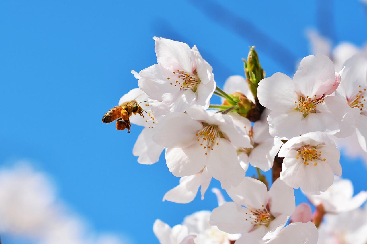Na zdjęciu widać kwitnący kwiat na gałęzi drzewa owocowego, do którego podleciała pszczoła. Zdjęcie na błękitnym, słonecznym niebie.